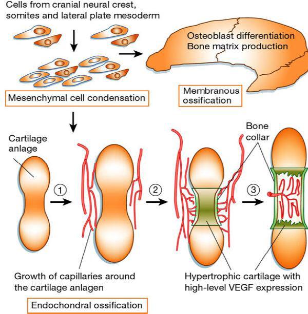 hisztogenezis porc növekedés és regeneráció