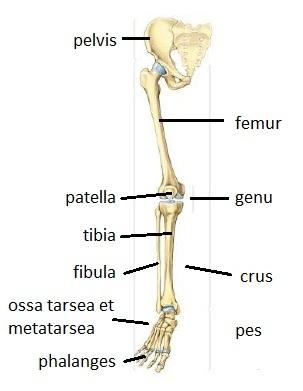 a lábak csípőízületeinek betegségei